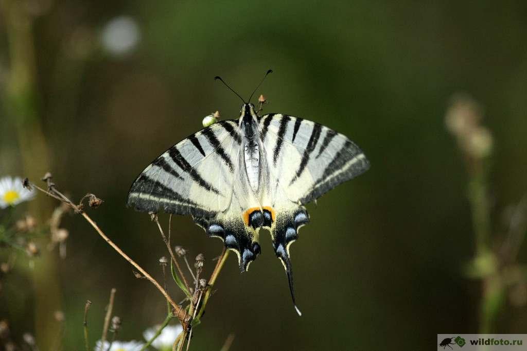 Подалирий (Iphiclides podalirius). Фото: Андрей Помидорров