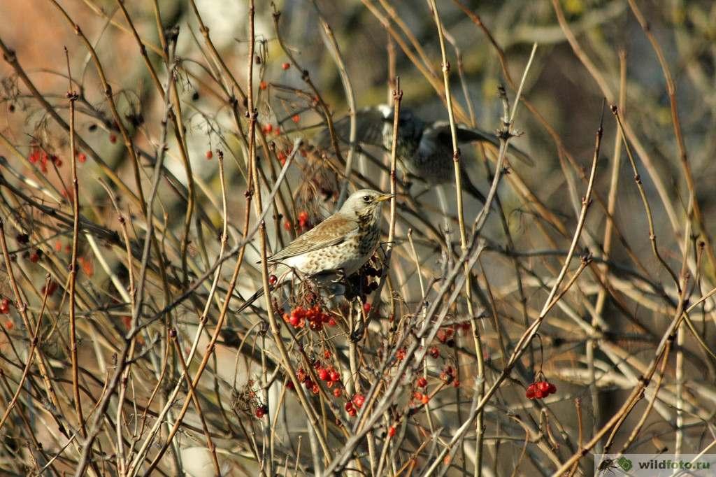 Рябинник (Turdus pilaris). Фото: Андрей Помидорров