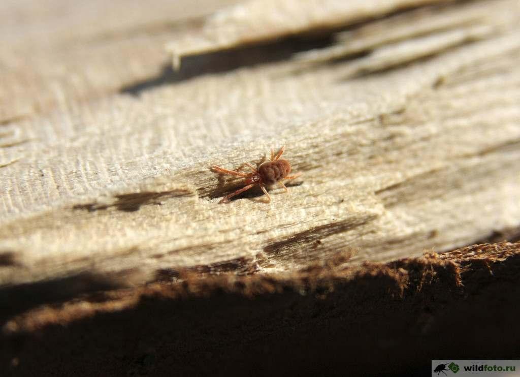 Клещ-краснотелка или Бархатный клещ (Trombidiidae). Фото: Андрей Помидорров