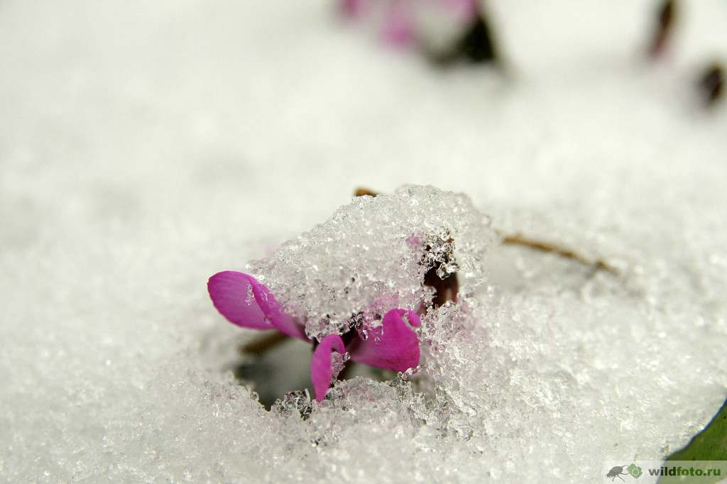Цикламен косский (Cyclamen coum). Фото: Андрей Помидорров