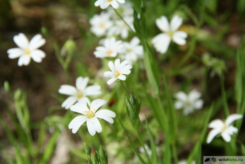 Ясколка (Cerastium). Фото: Андрей Помидорров