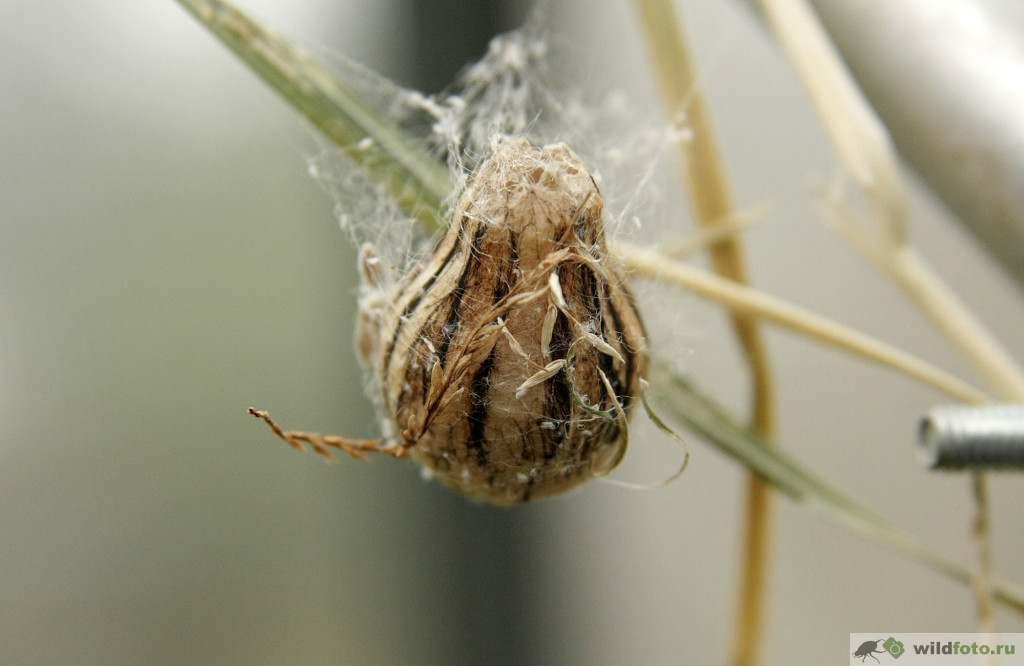 Кокон Аргиопа Брюнниха или паук-оса (Argiope bruennichi). Фото: Андрей Помидорров