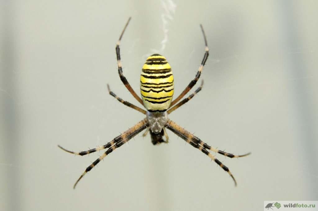 Аргиопа Брюнниха или паук-оса (Argiope bruennichi). Фото: Андрей Помидорров