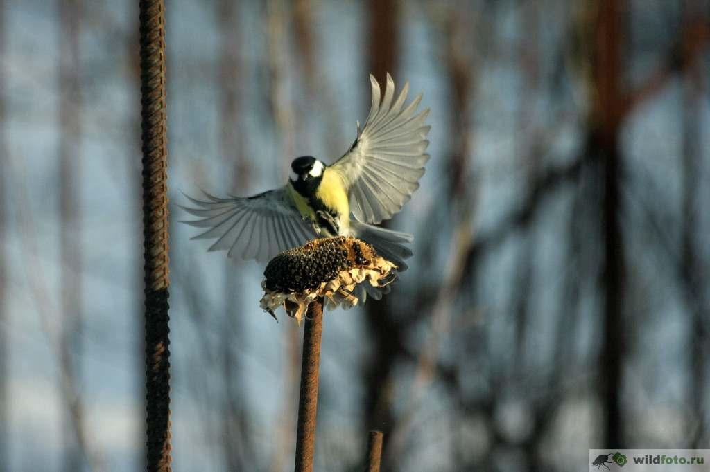 Большая синица (Parus major). Фото: Андрей Помидорров