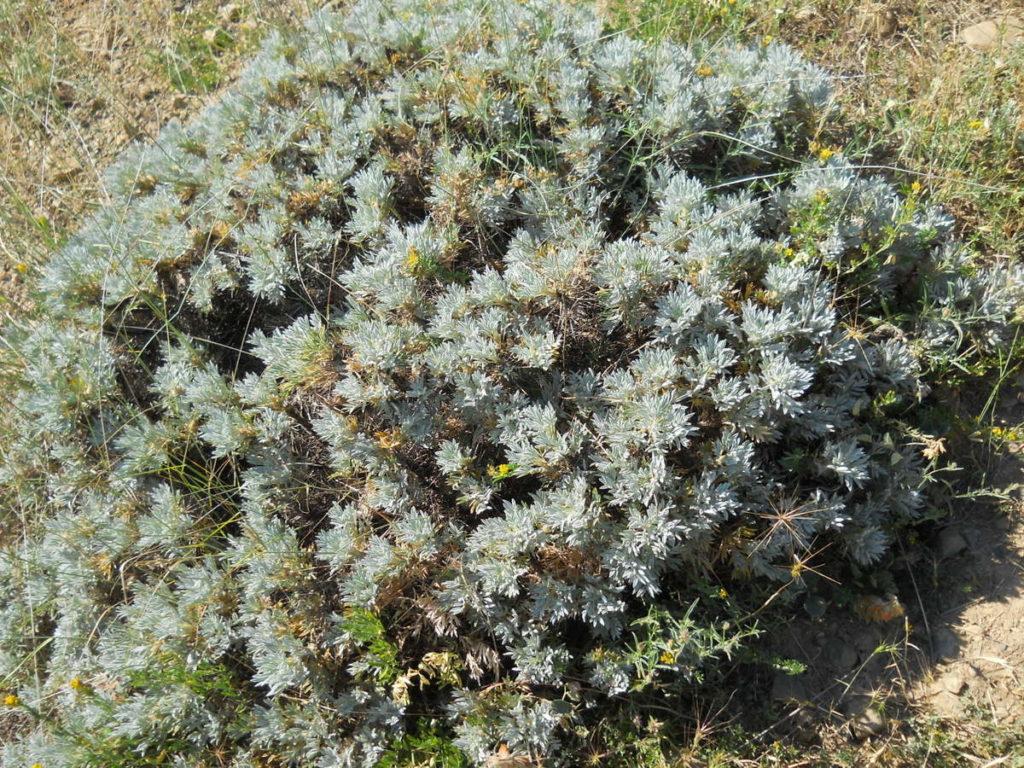 Астрагал колючковый (Astragalus arnacantha). Фото: Ирина Гайворонская