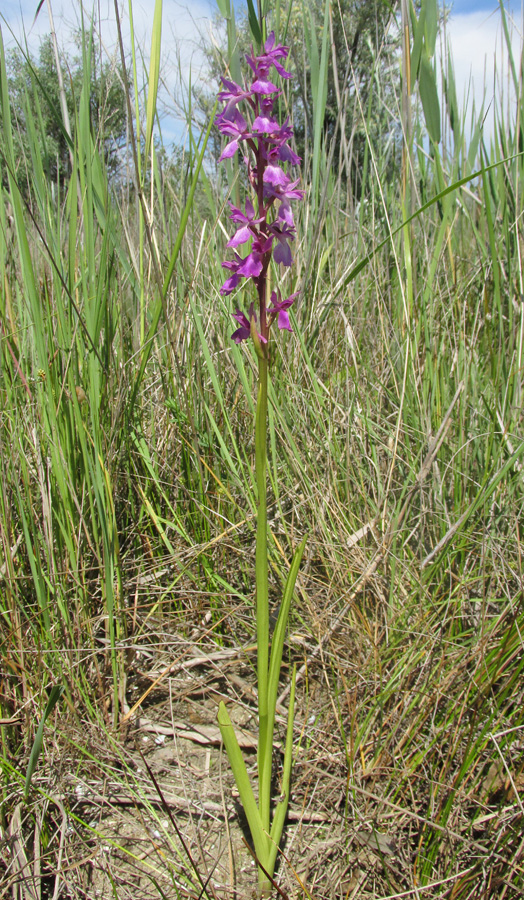 Ятрышник болотный (Orchis palustris). Фото: Александр Фатерыга