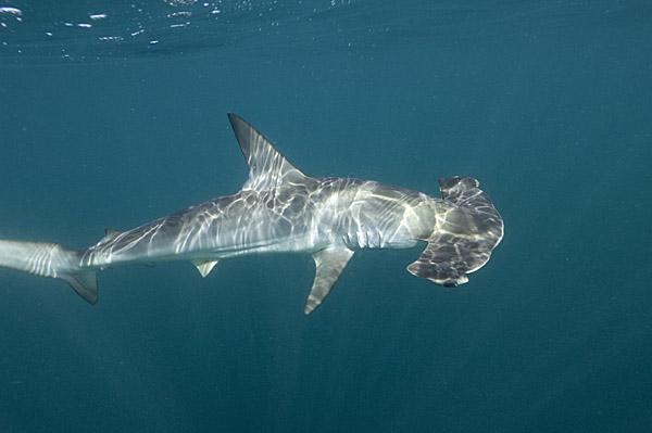 Акула-молот (Sphyrna zygaena). Фото Andy Murch