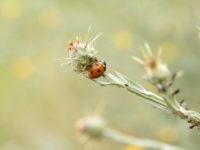 Семиточечная коровка (Coccinella septempunctata). Фото: Андрей Помидорров. Снято в Крымском районе