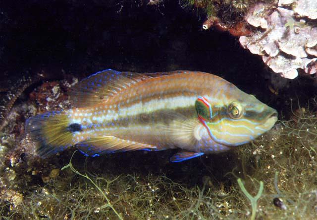 Глазчатая зеленушка (Symphodus ocellatus). Фото: fishbiosystem.ru