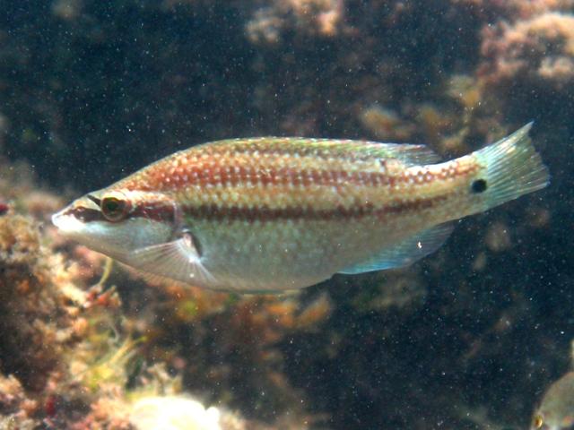 Зеленушка (Symphodus tinca). Фото: wikipedia.org