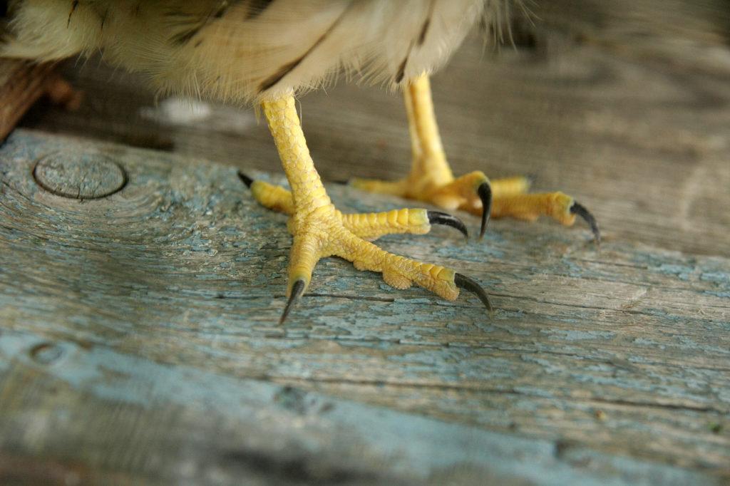 Пустельга обыкновенная (Falco tinnunculus). Фото: Андрей Помидорров. Снято в Краснодаре