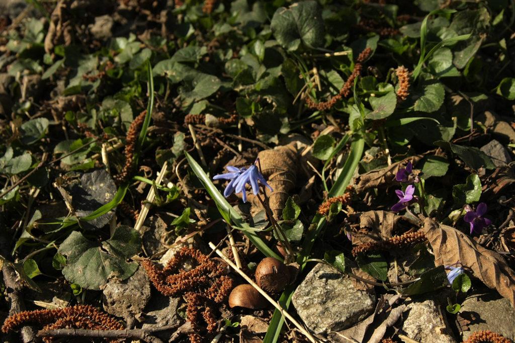 Пролеска сибирская (Scilla siberica). Фото: Андрей Помидорров. Снято в Краснодаре