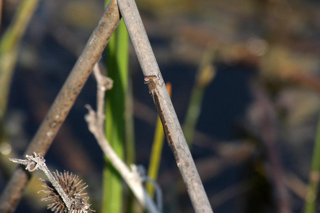 Лютка рыжая (Sympecma fusca). Фото: Андрей Помидорров. Снято в Крымском районе