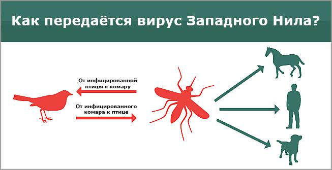 Как передается вирус Западного Нила Источник: mosquitomagnet.spb.ru
