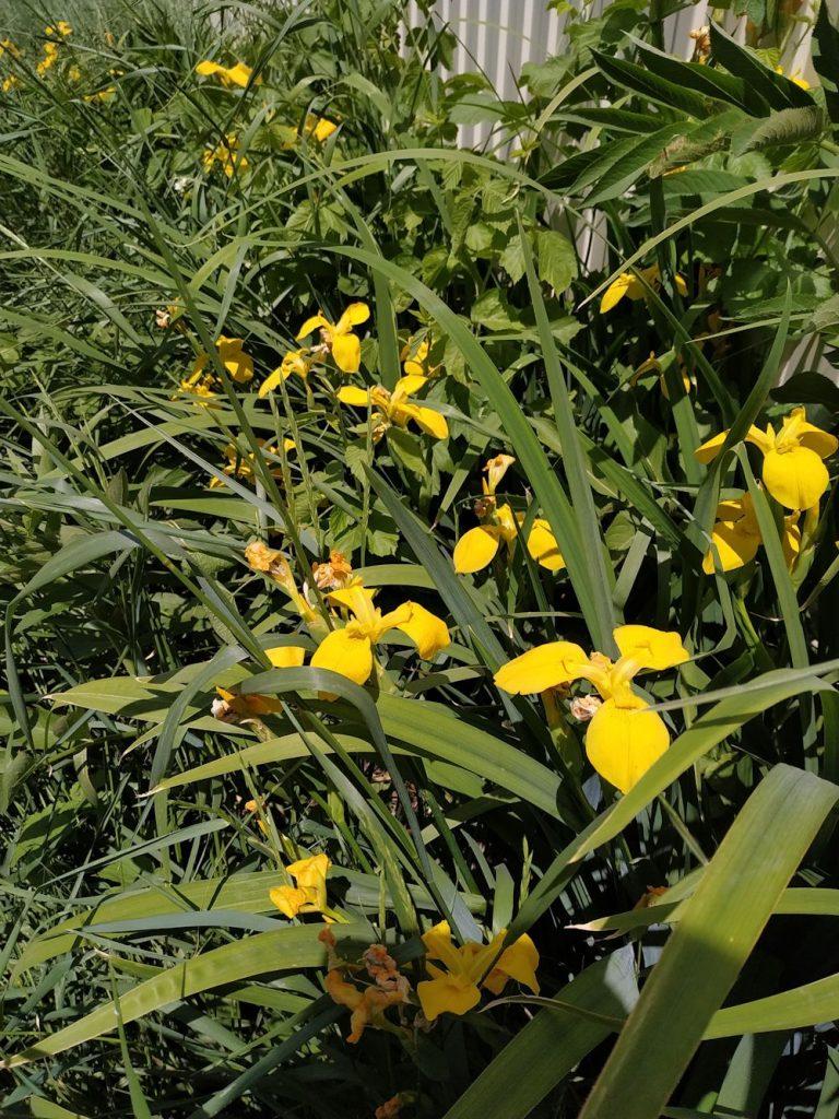 Касатик жёлтый или ирис болотный (Iris pseudacorus). Фото: Андрей Помидорров. Снято в Тахтамукайском районе (Адыгея)