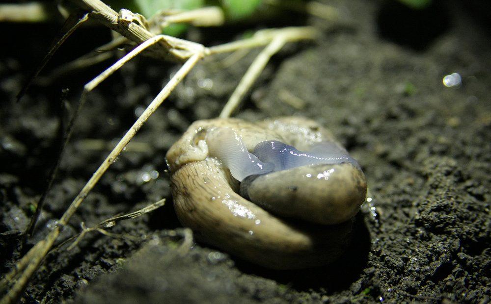 Слизень сетчатый (Deroceras reticulatum). Фото: Андрей Помидорров. Снято в Краснодаре