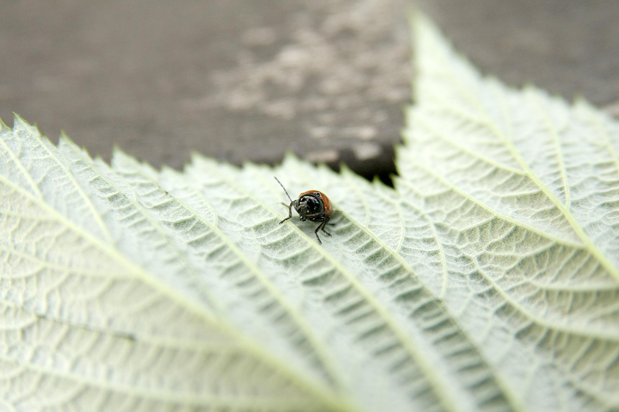 Скрытоглав двуточечный (Cryptocephalus bipunctatus). Фото: Андрей Помидорров. Снято в Краснодаре