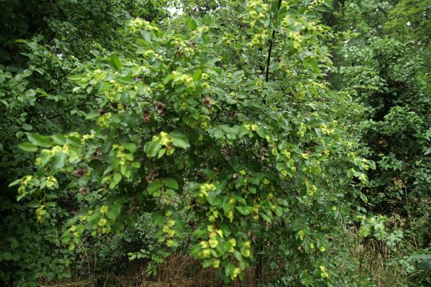 Держи-дерево (Paliurus spina-christi). Фото: Андрей Помидорров. Снято в Новороссийске