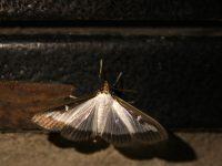 Самшитовая огнёвка (Cydalima perspectalis). Фото: Андрей Помидорров. Снято в Краснодаре